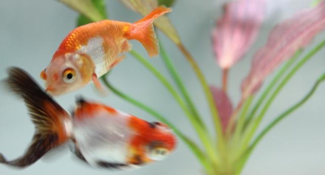 タイトル金魚